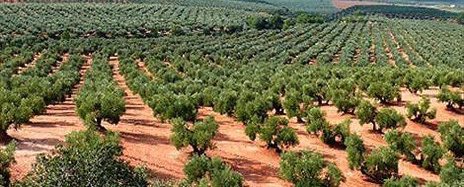 arboles-olivos-curiosidario