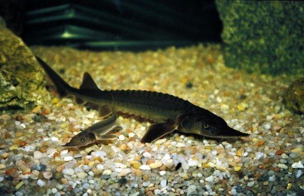 Entre el mar y el rio curiosidario for Criaderos de peces de agua fria