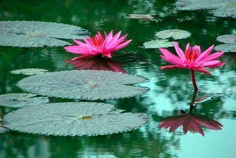 Plantas acuaticas curiosidario for Cuales son las plantas ornamentales y sus nombres