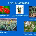 La familia de las Liliáceas