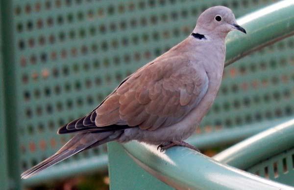 Aves columbiformes